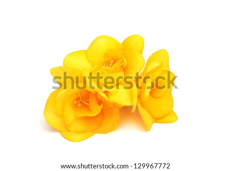 Three flowers of yellow freesia.isolated on a white background