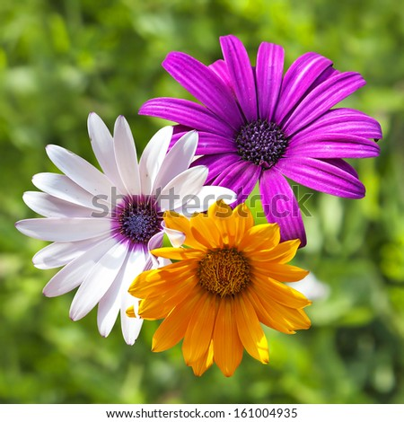 Three flowers: yellow, white, lilac on a green background