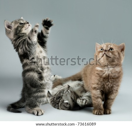 three fluffy,  gray and brown,  beautiful  kitten, breed scottish-straight, lie and  play   on grey background , look up