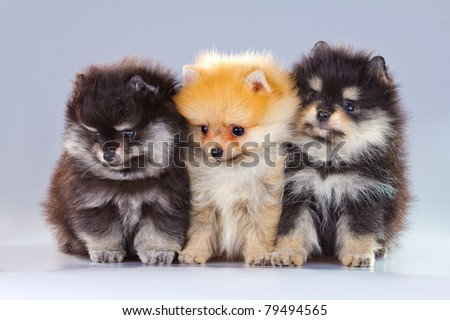 Three fluffy Pomeranian puppies on a gray background