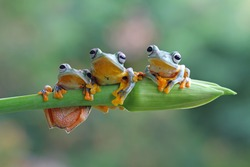 Three flying frog sitting on branch , wallace tree frog, Three Javan tree frog sitting on green leaves