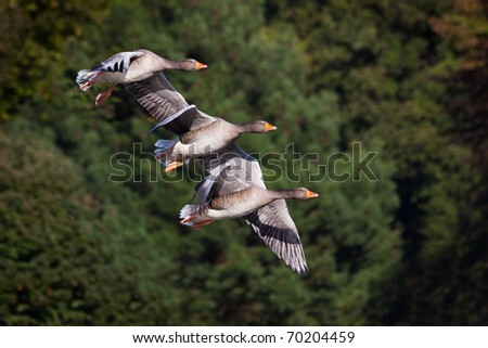 Three flying geese against a simple background
