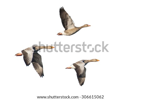 Three flying greylag geese isolated against white