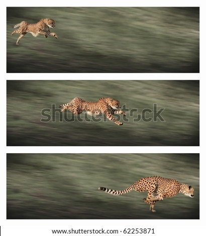 Three frames of a young female cheetah sprinting