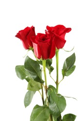 Three fresh red roses on white background