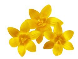 Three fresh yellow crocus flowers isolated on white
