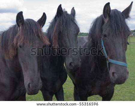 Three Frisian Horses
