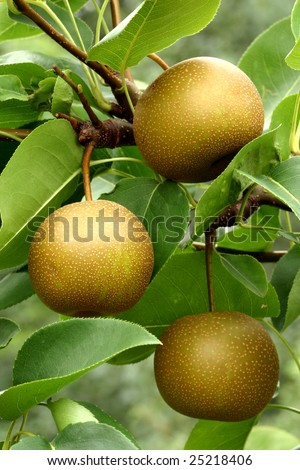 Three fruits of Asian pear (Pyrus pyrifolia) hang in the orchard