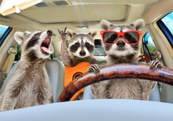 Three funny raccoon with a guitar ride in the car