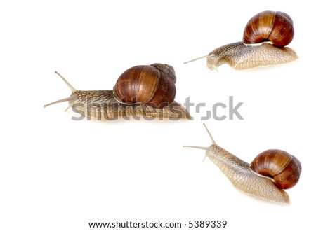 three garden snails  crawling  on white background