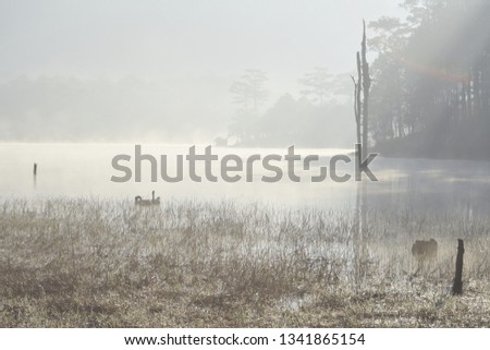 Stock Photo Three geese on the lake with magical light and fog at dawn