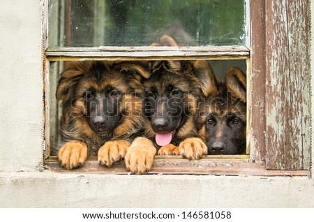 Three german shepherd puppy in the window