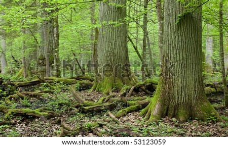 Three giant oaks in natural forest and dead wood in foreground