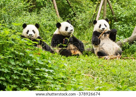 three giant pandas has lunch ...