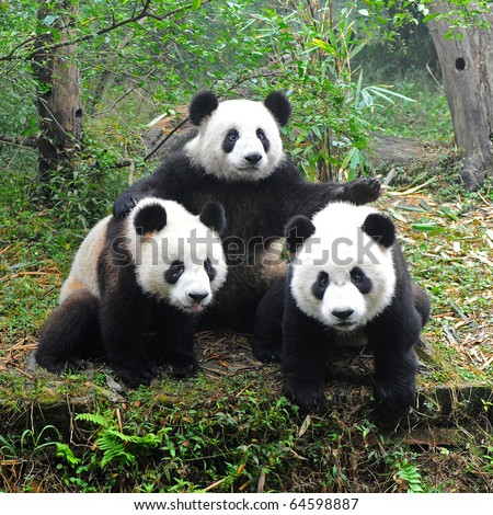 Three giant pandas posing for camera