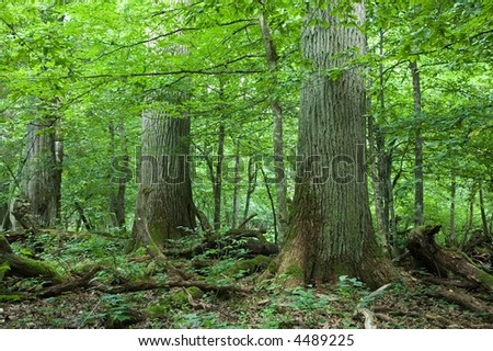 Three giant trees in natural forest