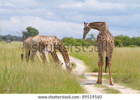 Three giraffe drinking from a natural pool of water in the road
