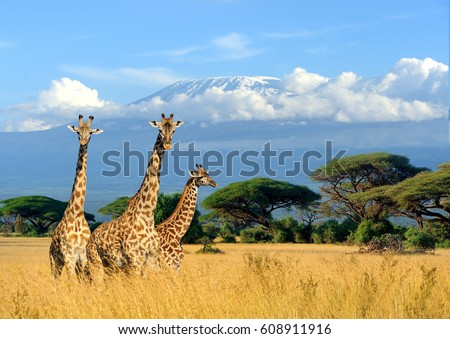 Three giraffe on Kilimanjaro mount background in National park of Kenya, Africa #608911916