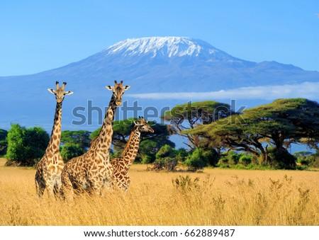 three giraffe on kilimanjaro...
