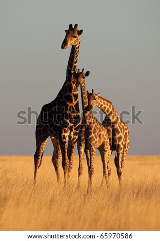 Three giraffes forming a perfect triangle bathed in soft sunset light, Etosha National Park, Namibia, SW Africa