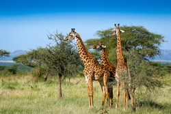 Three giraffes in Serengeti