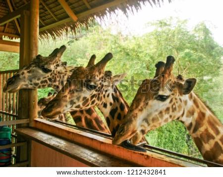 three Giraffes in the zoo #1212432841