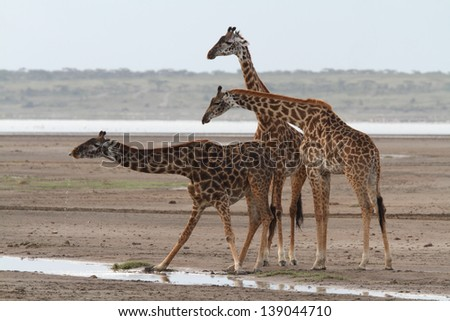 Three giraffes near water and one of them drinking