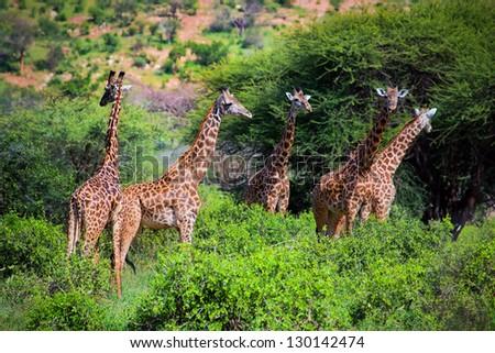 Three giraffes on savanna. Safari in Tsavo West, Kenya, Africa #130142474