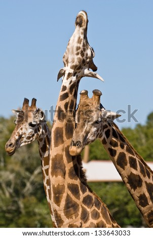Three giraffes playing together