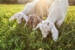 Three goat kids grazing on meadow, wide angle close photo with backlight sun.