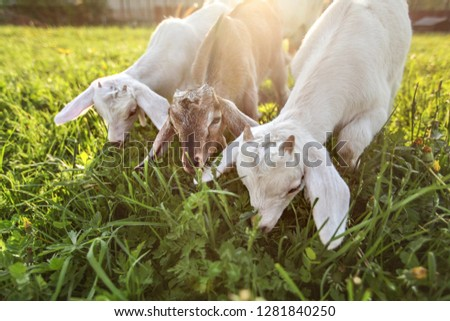 Three goat kids grazing on meadow, wide angle close photo with backlight sun. #1281840250