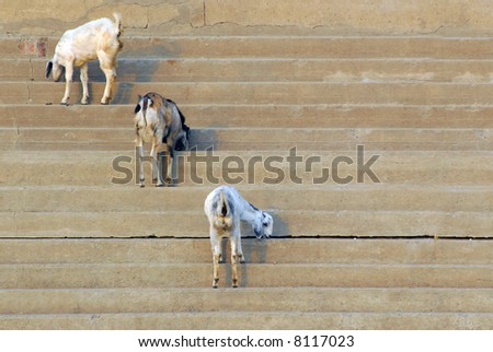 three goats on the steps of the varanasi ghats