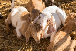 Three goats with a warm light in the morning.