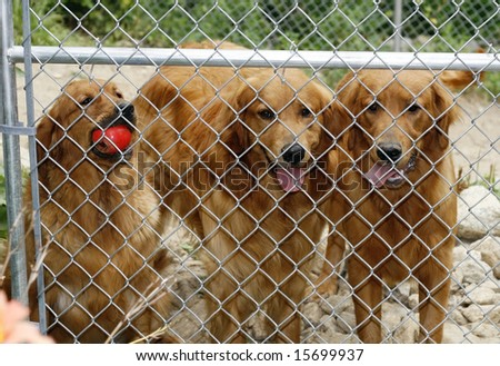 three golden retriever dogs behind chain link fence