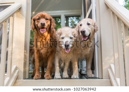 Three Golden Retriever Dogs stand in the door on the porch ready to go play outside #1027063942