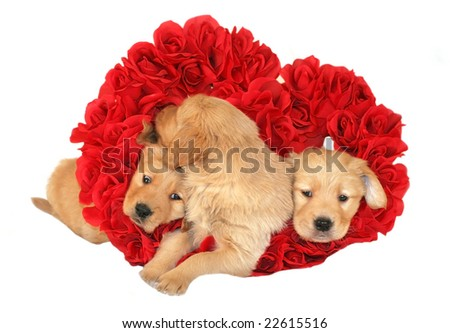 three golden retriever puppies inside heart of roses