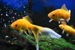 Three goldfish swimming in tank.