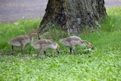 Three Goslings pecking for food in the grass in front of a tree near Jerusalem Pond in St. Croix Falls, WI.