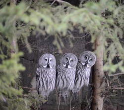 Three great grey owls on a branch staring right at you. Framed by conifer.