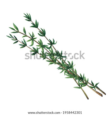 Three green branches of thyme isolated on white background.  Watercolor hand drawn illustration. Zdjęcia stock ©