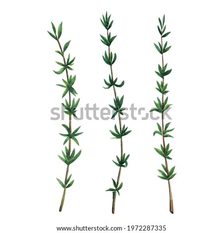 Three green branches of thyme. Thyme set  isolated on white background.  Watercolor hand drawn illustration. Zdjęcia stock ©