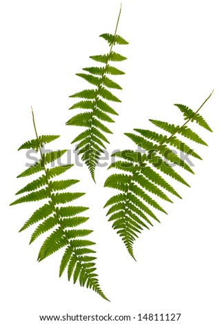 Three green fern leaves isolated over white.