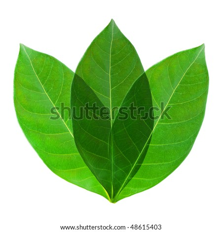 Three green leaf on white background