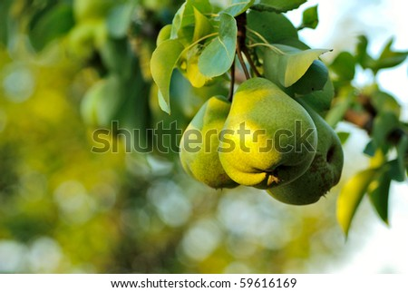 Three green pears with leafs on the branch