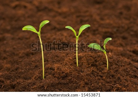 Three green seedlings growing out of soil