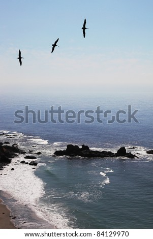 Three grey pelicans in clear serene day are turned over coast of Pacific ocean
