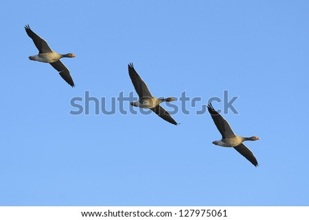 Three greylag geese (Anser anser) in flight against blue sky