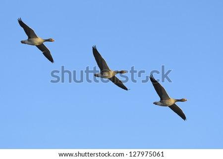 Three greylag geese (Anser anser) in flight against blue sky - stock photo