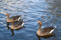 Three greylag geese in Kelsey Park, Beckenham, Greater London. Greylag geese swim on the lake in the park. There are many greylag geese in Kelsey Park, Beckenham, Kent. Greylag goose (Anser anser), UK