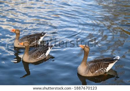 Photo of  Three greylag geese in Kelsey Park, Beckenham, Greater London. Greylag geese swim on the lake in the park. There are many greylag geese in Kelsey Park, Beckenham, Kent. Greylag goose (Anser anser), UK
